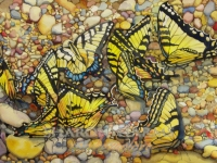 Tiger Swallowtails