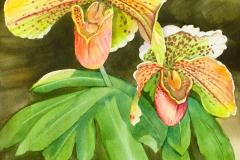 Bullfrog Paphiopedilum Orchid