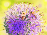 Allium and Bees